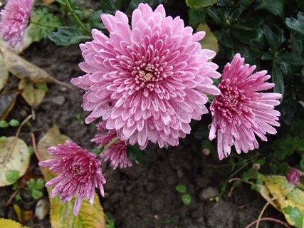 FOTKA - chryzantémy pod ťarchou dažďa.