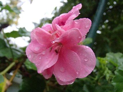 FOTKA - muškát s kvapkami dažďa.