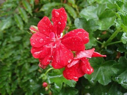 FOTKA - muškát s kvapkami dažďa..