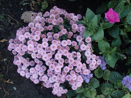 FOTKA - chryzantémy.