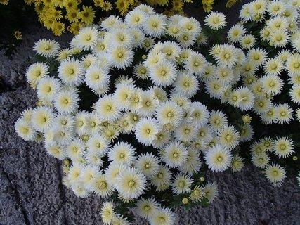 FOTKA - biele chryzantémy
