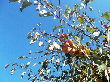FOTKA - Něco jako jablíčka, parkový strom