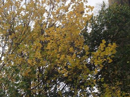 FOTKA - žltá koruna stromu
