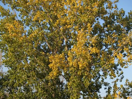 FOTKA - žltá koruna topoľa