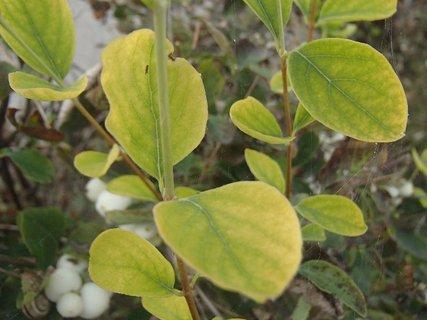 FOTKA - jabloň postupne žltne