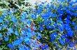 modré kvítky
