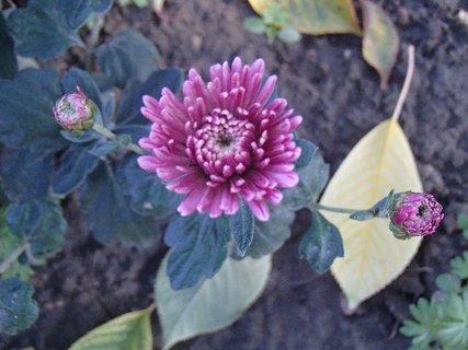 FOTKA - chryzantéma v opadanom lístí
