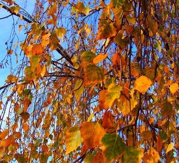 FOTKA - 10.11.2012, větve lípy s modrou oblohou...