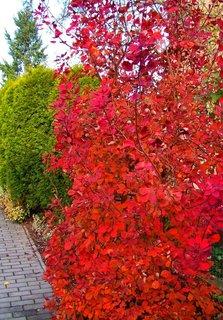 FOTKA - 10.11.2012, barevné keře v zahradě..