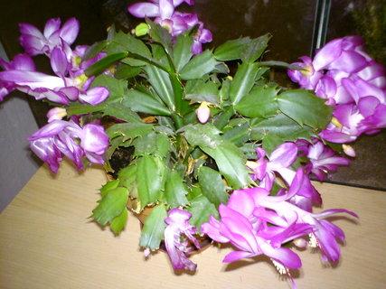 FOTKA - Vánoční kaktus kvete