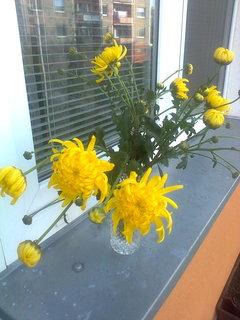 FOTKA - Žlutá chryzantema
