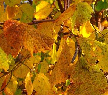 FOTKA - Včerejší podzimní procházka Kunraticemi - listy ve slunci