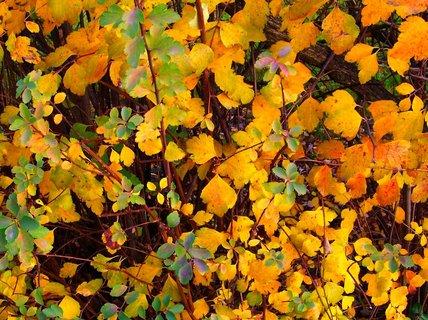 FOTKA - Včerejší podzimní procházka Kunraticemi - barevné keře..