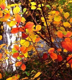 FOTKA - Včerejší podzimní procházka Kunraticemi - barevný keř u břízy