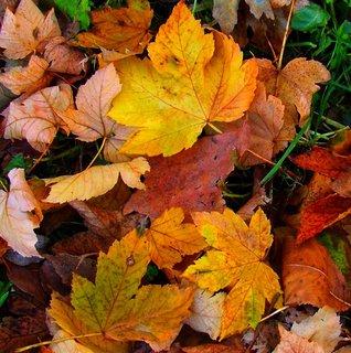FOTKA - Včerejší podzimní procházka Kunraticemi - listy javoru