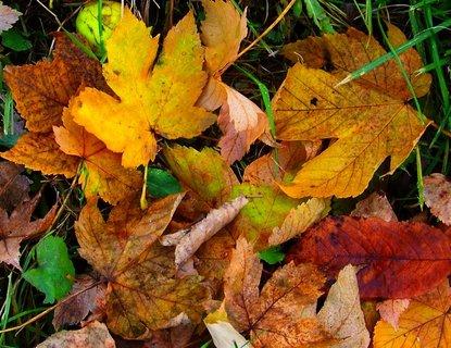 FOTKA - Včerejší podzimní procházka Kunraticemi-listy javoru ....