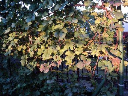 FOTKA - podvečerné slnko na listoch