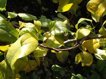 FOTKA - jabloňové listy