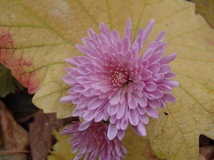 FOTKA - chryzantéma v lístí