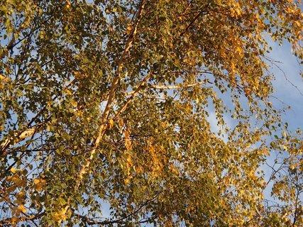 FOTKA - breza v oblakoch