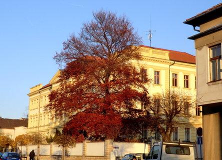 FOTKA - Červený buk u školy