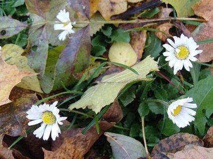 FOTKA - sedmokrásky v parku v lístí