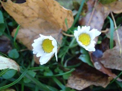 FOTKA - sedmokrásky v parku v lístí.