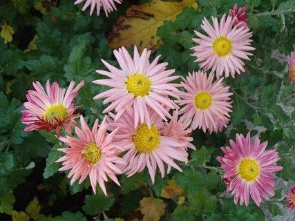 FOTKA - dvojfarebné chryzantémy