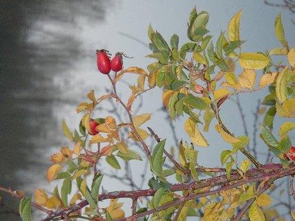 FOTKA - plody šípky