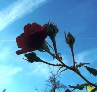 FOTKA - Růže s oblohou.