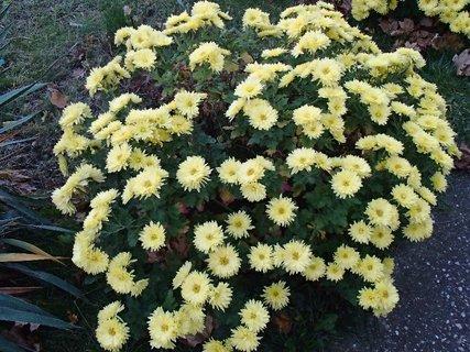 FOTKA - kríček žltých chryzantém