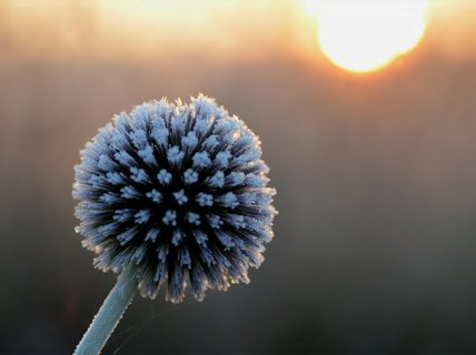 FOTKA - Bodláček ozdobený mrazem