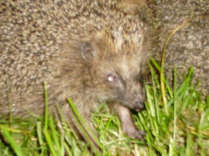 FOTKA - ježci