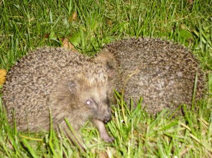 FOTKA - ježci 3