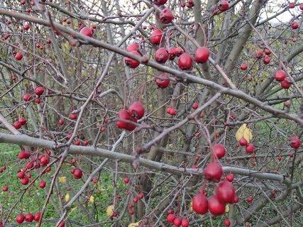 FOTKA - jesenné plody na kríku
