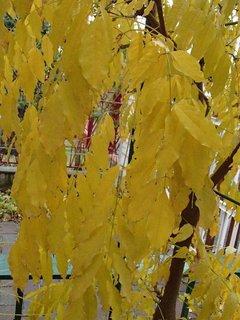 FOTKA - zlato žltá vistéria