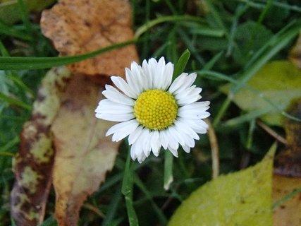 FOTKA - biela sedmokráska