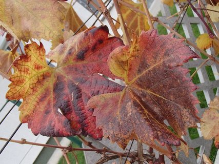 FOTKA - listy hrozna sfarbené jeseňou....