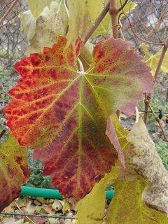 FOTKA - rôzne farby listov hrozna