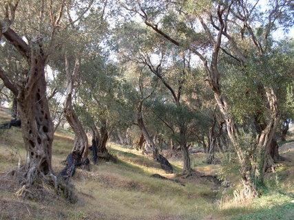 FOTKA - Olivovníkový háj