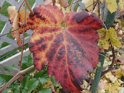FOTKA - listy hrozna sfarbené jeseňou.....