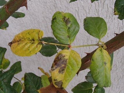 FOTKA - listy ruže pomaly žltnú