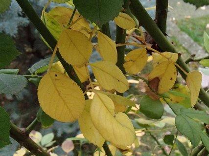 FOTKA - listy ruže pomaly žltnú.