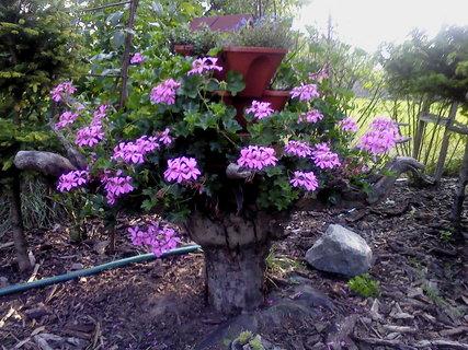 FOTKA - Kvetoucí muškáty