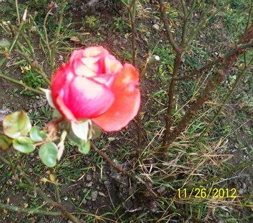 FOTKA - Poslední růže