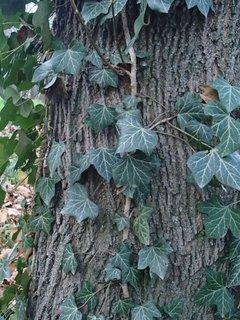 FOTKA - brečtan na strome v parku