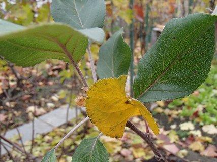 FOTKA - listy jablonky
