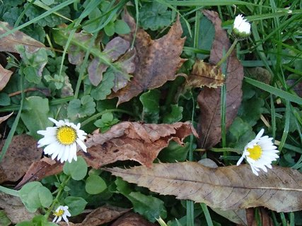 FOTKA - sedmokrásky v parku v lístí..