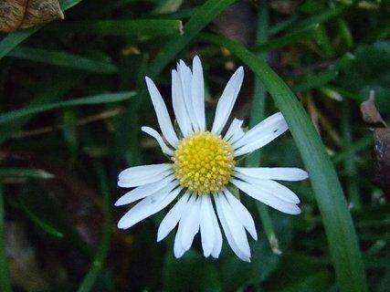 FOTKA - kvet margarétky.