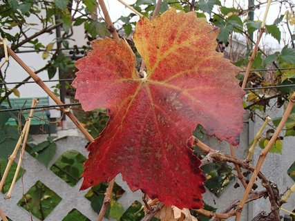 FOTKA - jesenné sfarbenie listu